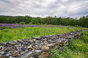 Lupine fields in Sugar Hill, New Hampshire USA during the spring months during the Annual Celebration of Lupines Festival