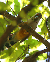 Puerto Rican lizard cuckoo with lizard
