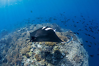 A freediver swims with a giant oceanic manta ray, Manta birostris, on a reef pinnacle that rises from deep waters in eastern Indonesia, Raja Ampat, Papua, Indonesia, Pacific Ocean