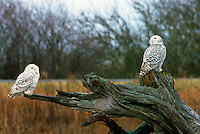 Snowy Owls (Bubo scandiacus) Female or Juvenile, sitting on Driftwood Stump at Boundary Bay Regional Park, Delta, BC, British Columbia, Canada - aka Arctic Owl, Great White Owl or Harfang.  Note Owl Head rotated 180 degrees.
