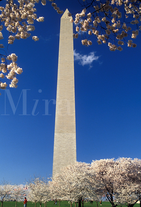 AJ2575, Washington Monument, Washington, DC, District of Columbia, capital city, Cherry blossoms surround the Washington Monument in the spring in Washington, D.C.