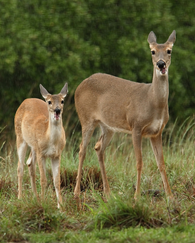 White-tailed Deer - Odocoileus virginianus.