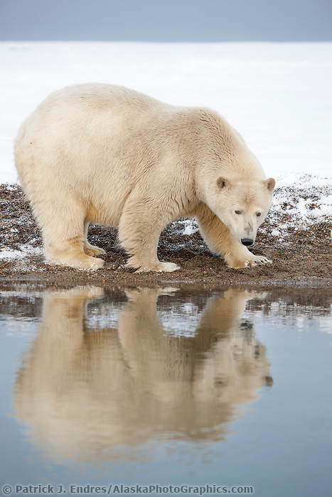 Polar bear along the shore of a barrier island in the Beaufort Sea, reflects in the water.