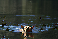 A shepherd lab mix swims with a tennis ball in a lake on Orcas Island, Washington.   (photo © karenducey.com)