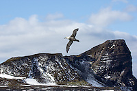 Southern Giant Petrel flying over the Azorella Peninsula, Heard Island, Antarctica