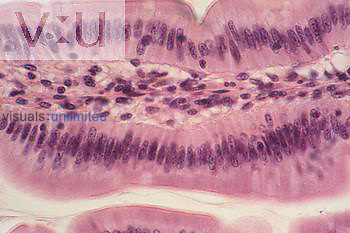 Simple columnar epithelium LM X160
