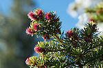 coniferous evergreen near Kruger Rock in Hermit Park, Larimer County Park near Estes Park, Colorado, USA