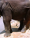 SRI LANKA, Asia, close-up of a elephant in Maha Oya River at Pinnewala