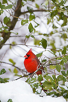 01530-21505 Northern Cardinal (Cardinalis cardinalis) male in American Holly (Ilex opaca) in winter Marion Co. IL