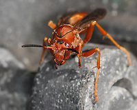 Red Wasp (Polistes carolina) on our barbecue hinge.