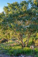 Agonis flexuosa (Peppermint Tree) at San Diego Botanic Garden