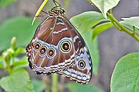 Comon Morpho butterfly (Morpho peleides). Portland Oregon Zoo