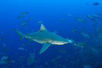 bull sharks, Carcharhinus leucas, patrol spawning aggregation of mutton snappers, Lutjanus analis; shark in foreground is a female with mating scars on her head inflicted by a male, Gladden Spit & Silk Cayes Marine Reserve, off Placencia, Belize, Central America (Caribbean Sea)