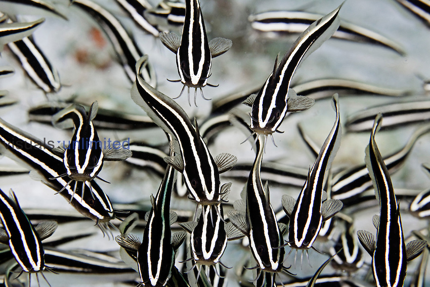 Striped Catfish (Plotosus lineatus) have a venomous spine in front of the pectoral fin, Philippines.