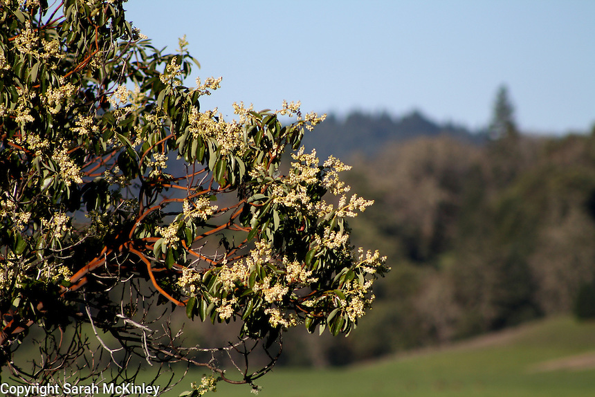 A madrone tree in bloom in the hills above Willits in Mendocino County in Northern California.