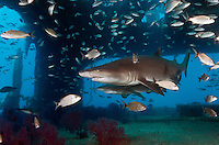 TP0150-D. Sand Tiger Shark (Carcharias taurus) swimming inside the shipwreck of the Aeolus, a 409-foot long tanker sunk on purpose in 1988 to create an artificial reef which now attracts recreational scuba divers and marine life alike. Sand tigers are often found in caves and near shipwrecks. They are members of family Ondontaspididae, grows to over 10 feet long, and are distributed in western and eastern Atlantic Oceans, western Indian Ocean, and western Pacific Ocean. North Carolina, USA, Atlantic Ocean.<br /> Photo Copyright &copy; Brandon Cole. All rights reserved worldwide.  www.brandoncole.com