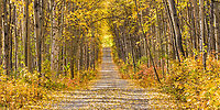 Birch and Aspen trees in autumn foliage line a gravel driveway in Fairbanks, Alaska