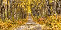 Birch and Aspen trees in autumn foliage line a gravel driveway in Fairbanks, Alaska