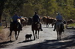 Greeley Hill, California October 24, 2006..Cattle Drive from Kasabaum Meadow through Hell's Hollow to Boneyard coral on Priest Coulterville Road. Erickson Cattle Company..Photo by AL GOLUB/Golub Photography...