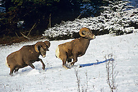 Rocky Mountain Bighorn Sheep Rams.  Larger ram is chasing off smaller ram during late fall mating season.  Canadian Rockies.