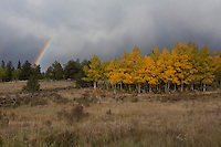 Ends of a double rainbow arch into the storm clouds over a grove of Aspen wearing autumn's first coat of gold along a highway in Colorado's high country.