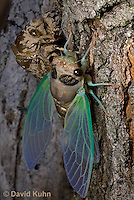 0901-0815  Recently Emerged Adult Dog-day Cicada with Skin, Tibicen spp.  © David Kuhn/Dwight Kuhn Photography.