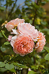 ROSA WILLIAM MORRIS, ENGLISH ROSE BY DAVID AUSTIN