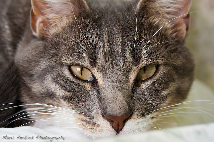 When you peer into the kitty ? the kitty peers into you.  This picture is of Bertie, a blue tabby and white cat, staring straight into the camera.