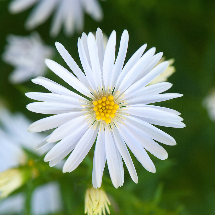 Aster novi-belgii 'Apollo' (syn. Symphyotrichum novi-belgii 'Apollo'), early October. A compact Michaelmas daisy with sprays of pure white flowers with yellow centres in September and October.