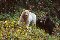 Spirit bear, kermode, black bear, Ursus americanus, mother with cubs in the rainforest of the central British Columbia coast, Canada