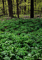 Mayapples are one of the many spring ephemerals covering the forest floor, Warren Woods State Park, Berrien County, Michigan