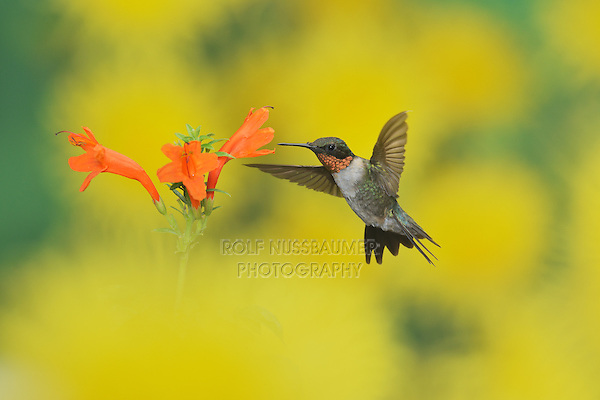 Ruby-throated Hummingbird (Archilochus colubris), male in flight feeding on Cape honeysuckle (Tecoma capensis) flower, Hill Country, Texas, USA