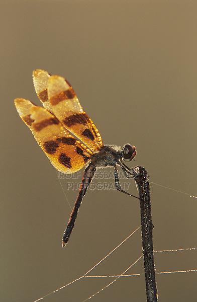 Halloween Pennant, Celithemis eponina, male with dew, Welder Wildlife Refuge, Sinton, Texas, USA