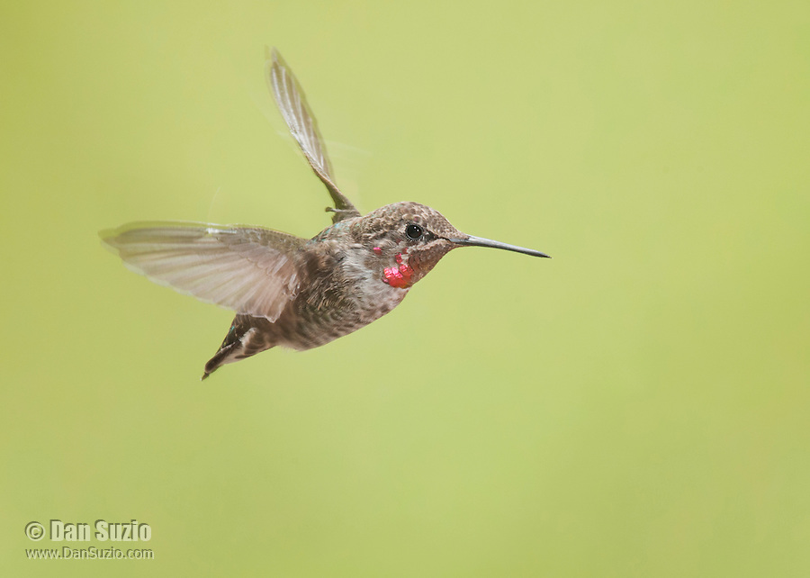 Male Anna's hummingbird, Calypte anna. Alameda County, California