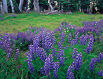 Olympic National Park, WA<br /> Lupine in an alpine meadow on Hurricane Ridge