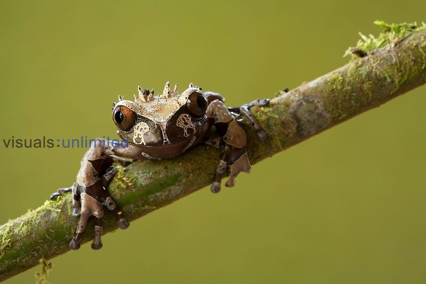 Spiny-headed or Crowned Tree Frog (Anotheca spinosa), Costa Rica