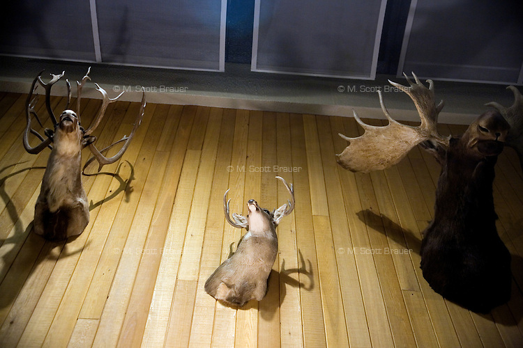 The mounted heads of a caribou, mule deer, and moose, hang on a wall inside the Great Falls International Airport in Great Falls, Montana, USA.