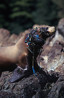 km2443. Steller Sea Lion (Eumetopias jubatus) entangled in gill net, will eventually die. Alaska, USA, Pacific Ocean..Photo Copyright © Brandon Cole. All rights reserved worldwide.  www.brandoncole.com..This photo is NOT free. It is NOT in the public domain. This photo is a Copyrighted Work, registered with the US Copyright Office. .Rights to reproduction of photograph granted only upon payment in full of agreed upon licensing fee. Any use of this photo prior to such payment is an infringement of copyright and punishable by fines up to  $150,000 USD...Brandon Cole.MARINE PHOTOGRAPHY.http://www.brandoncole.com.email: brandoncole@msn.com.4917 N. Boeing Rd..Spokane Valley, WA  99206  USA.tel: 509-535-3489