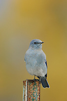 Mountain Bluebird, Sialia currucoides, male on post, with aspen trees in background, Grand Teton NP,Wyoming, September 2005