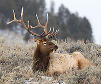 Large bull elk sometimes congregate on the Blacktail Plateau in winter.