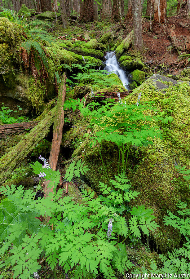 Olympic National Park, Washington:  Scouler's corydalis blooming among moss covered rocks and stream in the upper Soleduck Valley