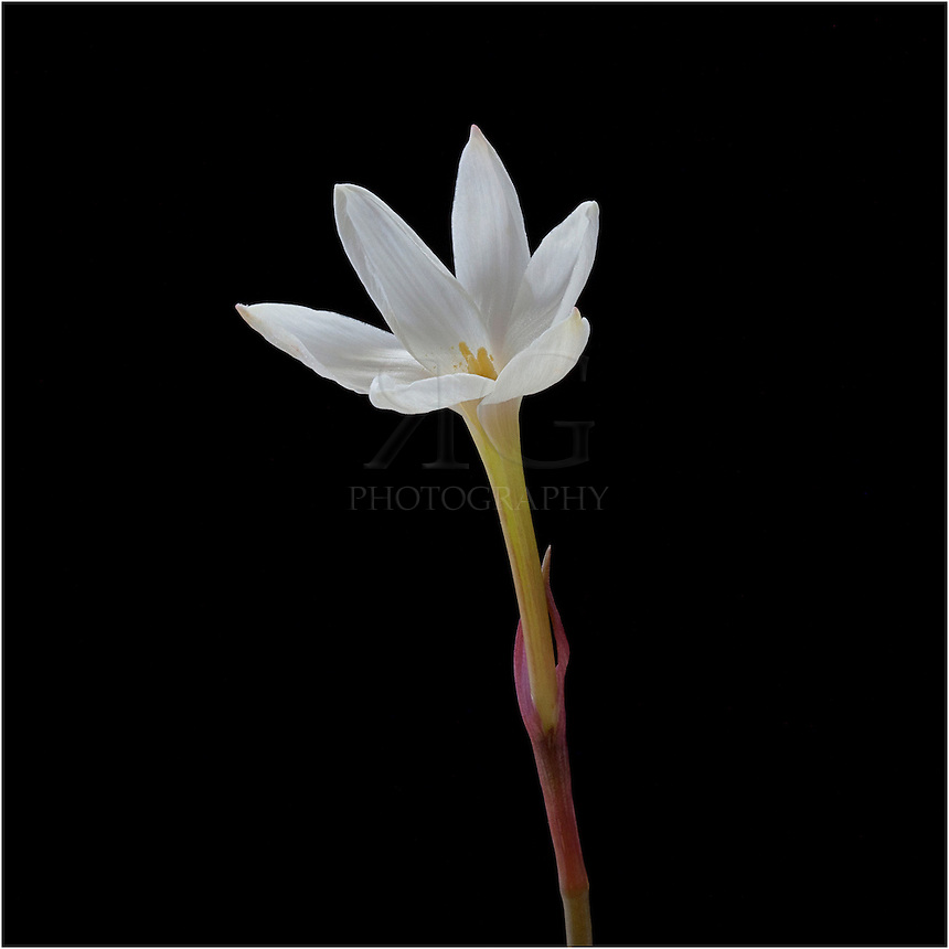 The Rain lily, a beautiful Texas Wildflower, almost always appears a day or so after a rain. The white petals last a few days, then fade to pink and wither. It generally blooms from April through September, but is most prominent in the summer months.