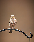 House Finch (female). Image taken with a Nikon D5 camera and 600 mm f/4 VR lens (ISO 1000, 600 mm, f/4, 1/1250 sec).