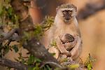Vervet monkey and infant, Okavango Delta, Botswana