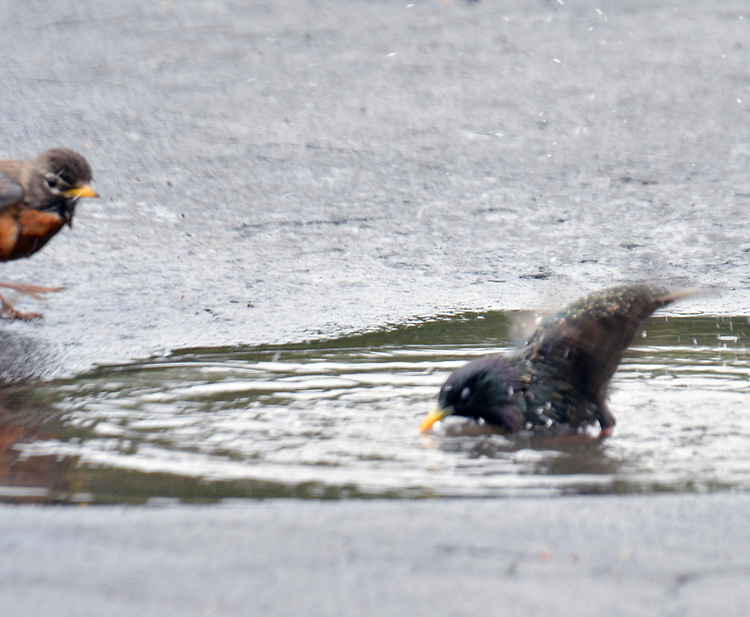 Robins and Grackles bathing in a puddle in my driveway at  in Saugerties, NY, on Wednesday, April 21, 2017.. Photo by Jim Peppler. Copyright Jim Peppler/2017.