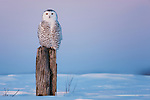 Snowy owl sitting on farm fence post in snow field, Canada