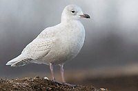 "Immature, 1st winter ""Kumlien's"" Iceland Gull (Larus glaucoides kumlieni). Tompkins County, New York. January."