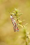 Crimson Speckled Moth, Utetheisa pulchella, Morocco