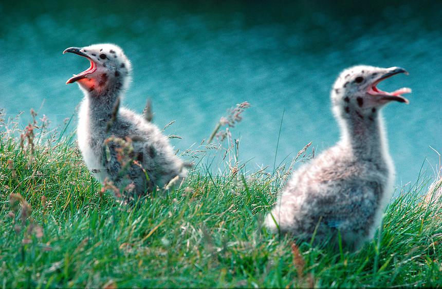 Seagull chicks, island of Belnahua, south-west Scotland.