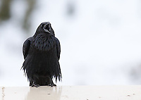 A raven calls out on a winter day.